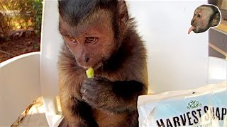 Capuchin Monkey LOVES Snap Pea Crisp!