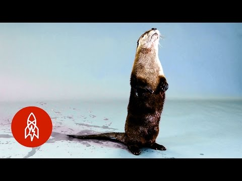 Back from the Brink: The North American River Otter