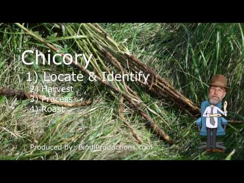 Common Chicory  How to Identify, harvest, process, and roast