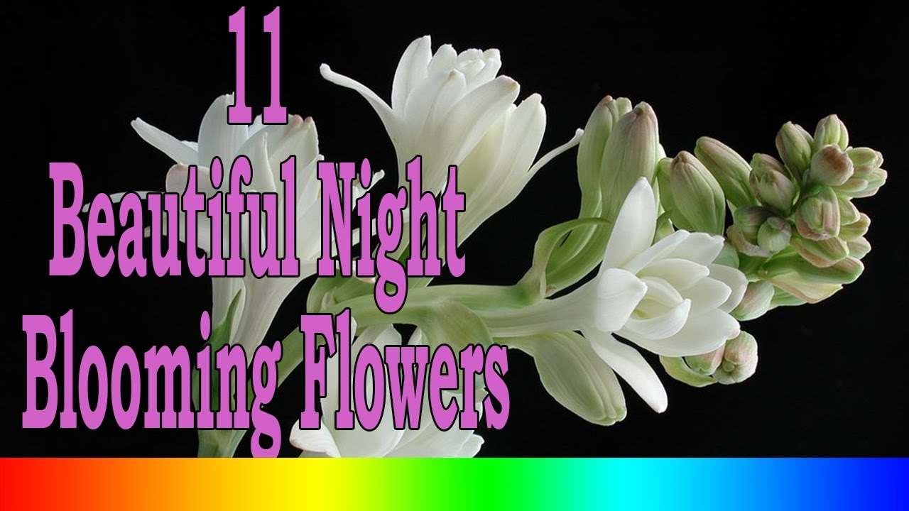 11 beautiful night blooming flowers youtube izmirmasajfo