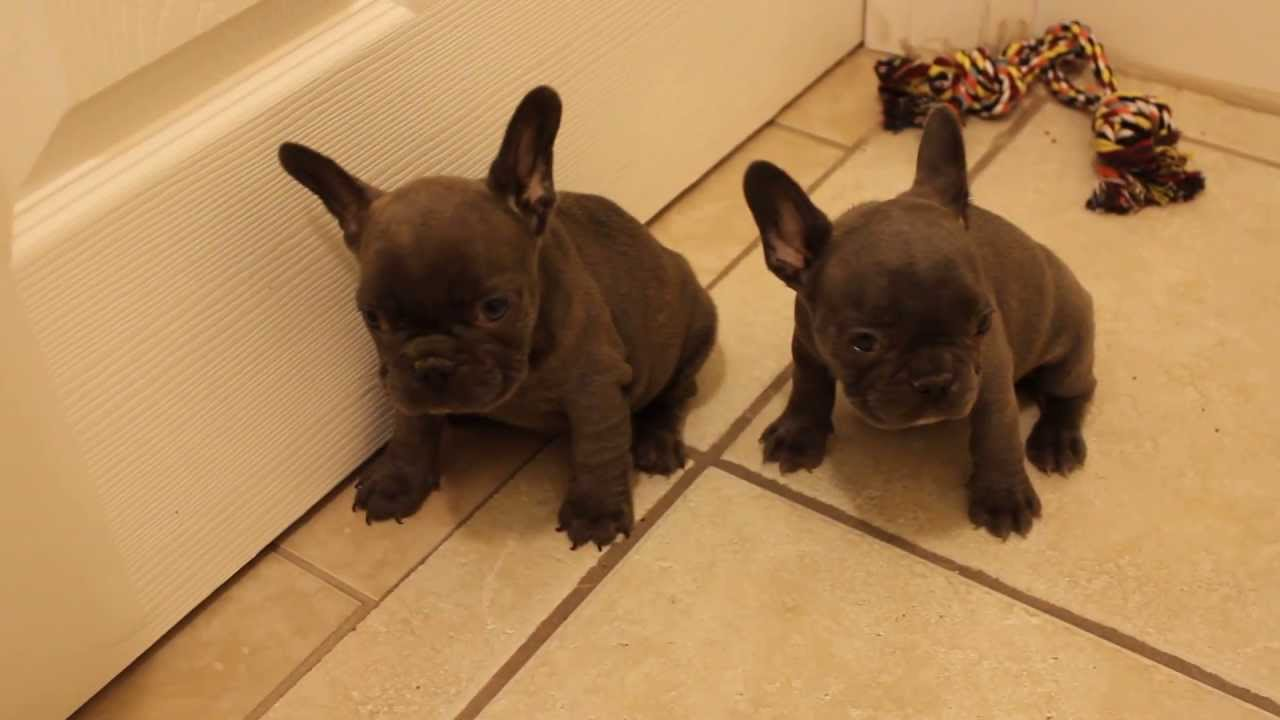 Two Gorgeous Blue French Bulldog Female Puppies For Sale Chocolate