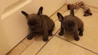 Two Gorgeous Blue French Bulldog Female Puppies For Sale, Chocolate Carriers