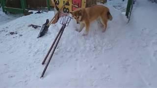 Бывает собака запутается на цепи..