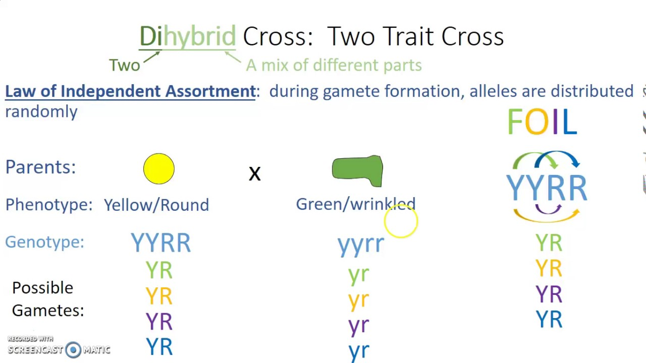 Dihybrid Cross - YouTube