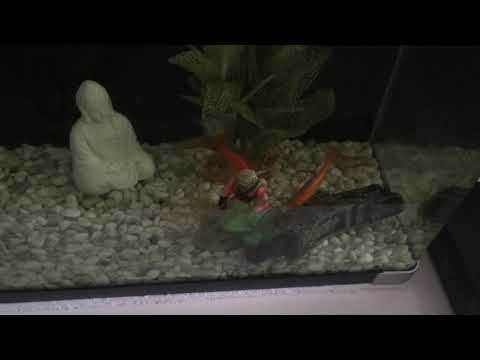 Why Fish Stunt Growth In Small Tanks