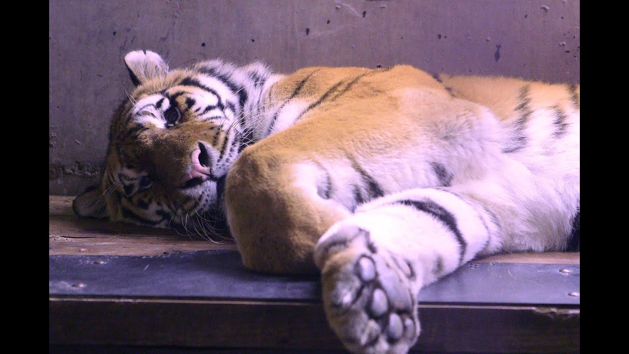 Endangered Amur tigers at The Alaska Zoo