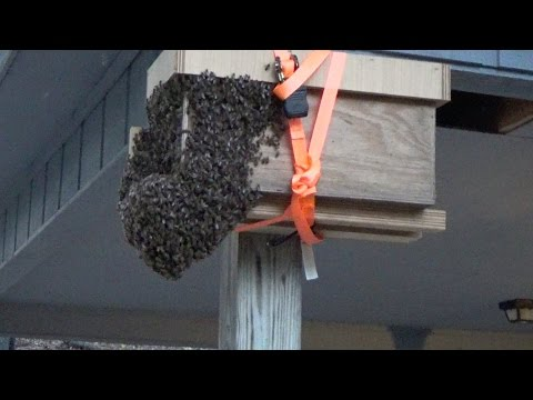 23rd swarm capture for 2017 for Mr  Ed