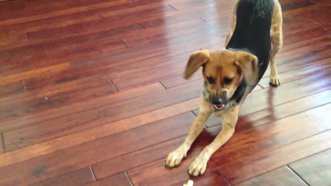 Dog Plays with Rawhide - Beagle / Heeler Mix - YouTube