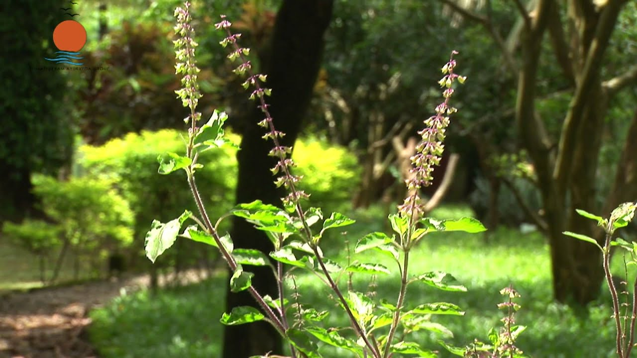 Tulsi Plant Hd Wallpaper Thulasi Or Holy Basil Ocimum Sanctum Ayurveda