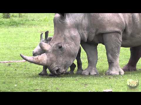 "Baby Rhinoceros ""Astrid"" at Cotswold Wildlife Park, 1st July 2013"