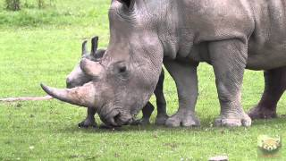 """Baby Rhinoceros """"astrid"""" At Cotswold Wildlife Park, 1st July 2013"""