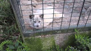 The arctic fox. Песец или полярная лиса.The Berlin Zoological Garden. April 2015