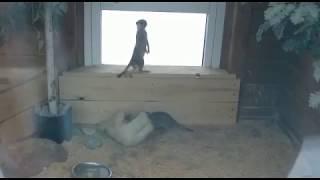 Сурикаты делают кролику массаж в барнаульском зоопарке