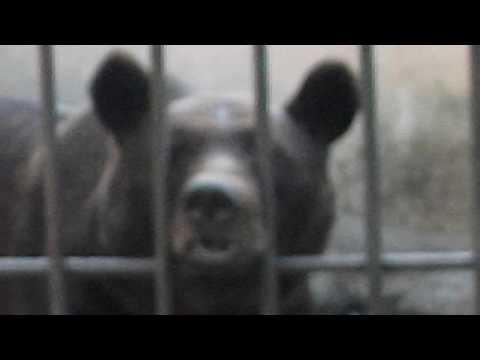 Медведя нос застрял в клетке