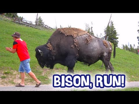 DANGEROUS ENCOUNTER WITH A BISON - 2017 FUNAWESOME SUMMER (Part 5: Yellowstone)