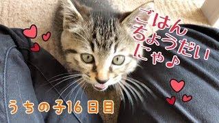 うちの子16日目。ご飯のおねだり鳴きがかわいい♪の巻【はちの成長記録#16】 thumbnail