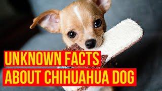 Chihuahua Dog Breed10 hechos por qué muchas personas prefieren la raza