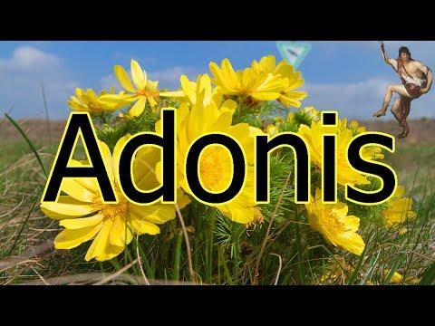 Wissenswertes um Adonisröschen