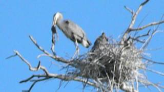 blue heron dead chick