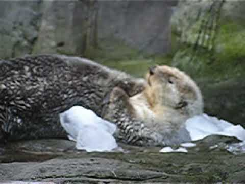 Northern sea otter in captivity