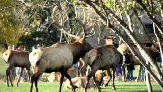 Elk Mating Season