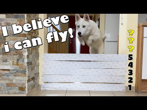 DOG vs TOILET PAPER WALL! How many layers can she jump over?