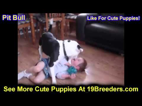 Pitbull, Puppies, For, Sale, In, Edmond, Oklahoma, OK, Cleveland, Comanche, Canadian, Rogers, Payne,