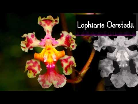 Orquídeas de la Zona Maya