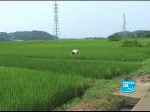 Rice aplenty in Japan