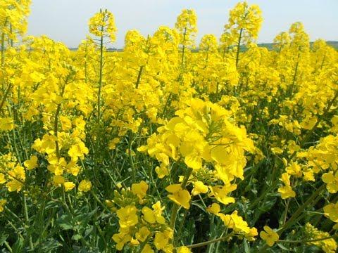 La moutarde : culture, plantation, entretien, récolte et recette ...