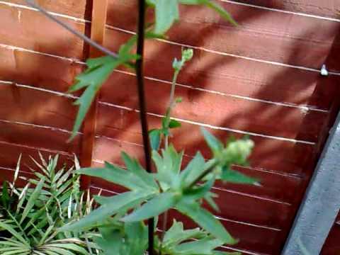 Wolfsbane Werewolves Plant