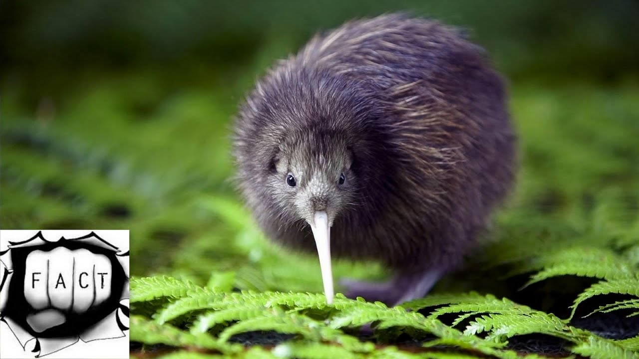 10 flightless birds in the world youtube