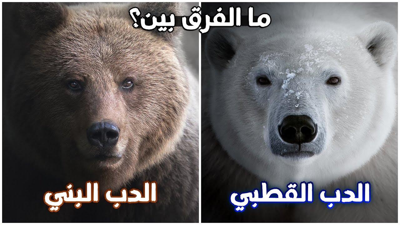 ما الفرق بين الدب القطبي و البني؟