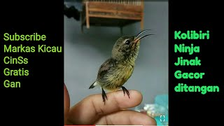Kolibri Ninja / Konin ijoan Trotol jinak bunyi gacor ditangan , Sun Bird , Sunbird
