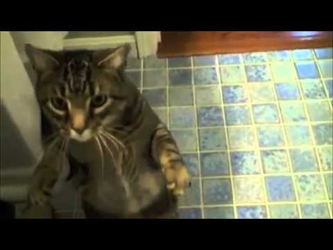 Awesome Cat Does Dog Tricks