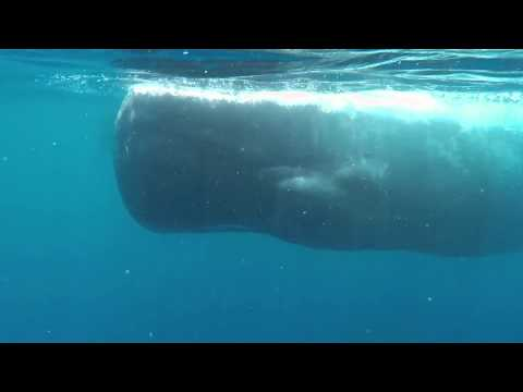 Swimming with Blue Whales and Sperm Whales in Sri Lanka