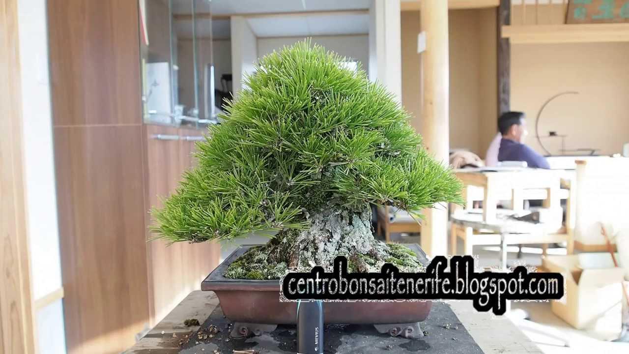 Small Greatest Kuromatsu Taisho En Bonsai Garden 2014 By Jose Acuna Centro Bonsai Tenerife Youtube