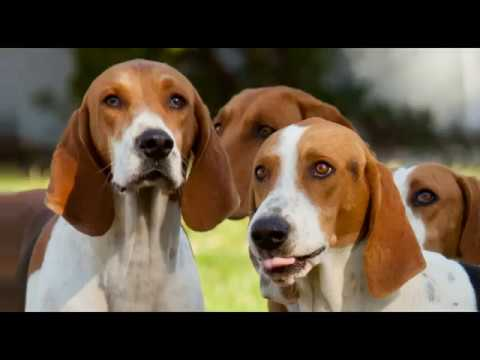 AMERICAN FOXHOUND - appearance, barking, playing, hunting