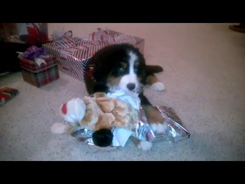 Bernese Mt. Dog Puppy Opening Christmas Present