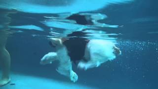 Beagle Hound Minnie & Cocker Spaniel Jj Swimming Together - Underwater View