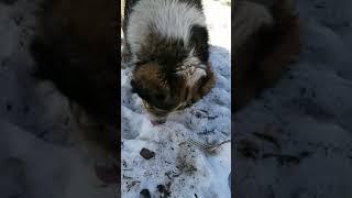 Видео для отзыва Алабай ест Grandin консервированный корм для взрослых собак с ягненком