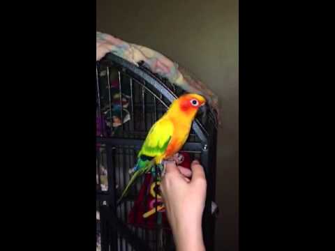 Sun Conure - talking-  What are you doing?