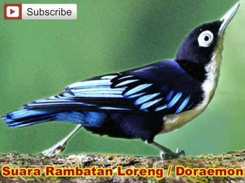 Rambatan Loreng Doraemon Gacor Audio Suara Burung Untuk Masteran