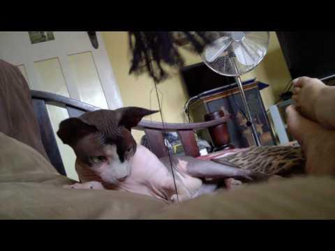 Sphynx Cat Ninja Playing String