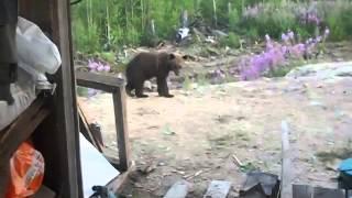 Нападение медведей на людей