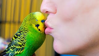 Budgie Talks To Owner To Stop Feeling Lonely | Pets: Wild At Heart | BBC Earth