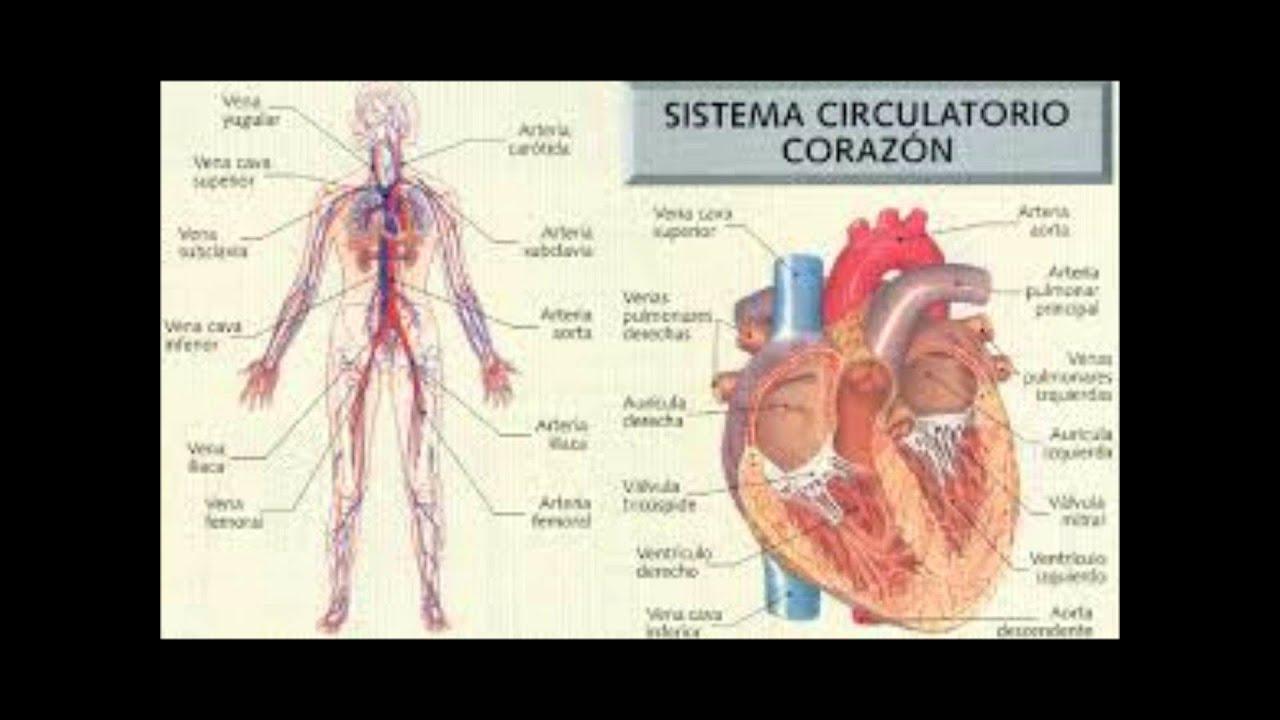 Los sistemas del cuerpo humano. - YouTube