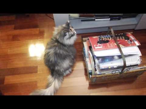 Iza the Norwegian Forest Cat wants to watch TV