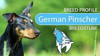 German Pinscher Breed, Temperament & Training