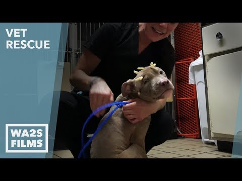 Animal Aid Unlimited for Injured Puppy with Head Trauma on VET Rescue #2 Saving Courage